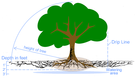 in urban areas and especially on the west coast of bc, tree's seldom have  tap roots and root growth is principally in a horizontal direction with  most