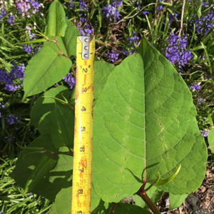 japanese knotweed, certified noxious weed pesticide applicators